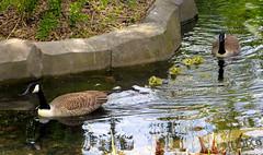 Famille d'oies bernaches (Raymonde Contensous) Tags: bernachesducanada oies oiseaux animaux parczoologiquedeparis pzp zoo vincennes nature zoodevincennes
