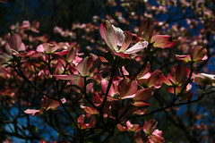 Spring Fling (ilysewhitney) Tags: a6000 sonya6000 sony sonyimages sonya600 nystate state park arboretum fountain dogwood