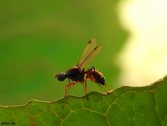 Sepsis sp - Sepsidae (gökhan eren) Tags: diptera sinek animalia bugs böcek bug beetle gökhaneren gkhnrn sakarya karasu turkey türkiye nature wild wildlife yabanhayat sepsissp sepsidae