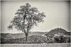 Another Tree with a view... (Ody on the mount) Tags: achalm bäume em5ii omd olympus pflanzen rahmen schwäbischealb bw monochrome sw sepia