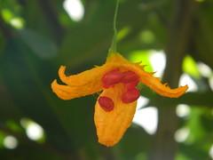 Momordica nº 1 (Leo Castelo Branco) Tags: fruta momordica natureza nature melãodesãocaetano melão
