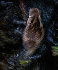 The Face Wash (Steve Taylor (Photography)) Tags: facewash duck bird mallard water river stream newzealand nz southisland canterbury christchurch blur