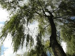 Weidenbaum (gerlindes) Tags: weidesalix weidengewächse baum weidenbaum laubbaum laubgehölz