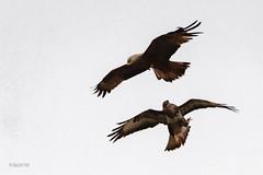 Chamaillerie entre un milan noir et une buse variable (sfrancois73) Tags: oiseau busevariable milannoir chamaillerie faune