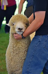 Sheep Judging (swong95765) Tags: sheep judging statefair contest competition