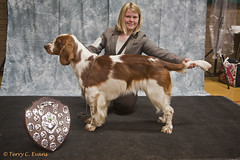 Special New Members Dog - Cwmbeili Morgan (evinrisca) Tags: welshspringerspaniel wales chepstow championship dogshow welshie spaniel champshow