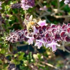 Bee on Magic Mountain Basil (Assaf Shtilman) Tags: bee magic mountain basil honeybee