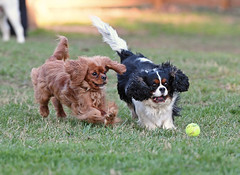 Love the fetch game (mapledog) Tags: dogs cavalier king charles