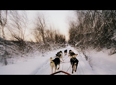 running in swedish tundra (vittorio.chiampan) Tags: sweden snow winter dogs nature sled