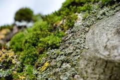 webDSC_0317 (mornarees) Tags: nature moss trunk treetrunk tree lichen