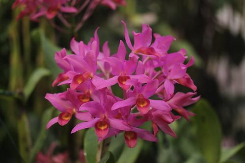 Guatemalan Guarianthe - Guarianthe x guatemalensis