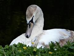DSCN1537 (Mirthe Duindam) Tags: zwaan swan