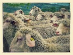 Pecore, Gualdo, Macerata, Marche, Italia (B Plessi) Tags: pecore italiagualdo gualdo sheep mouton gregge marche huaweip8lite2017 huawei smarphone hill colline
