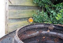 Robin 14.4.2017 (2) (bebopalieuday) Tags: bird robin redbreast compostbin garden