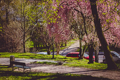 IMG_5209 (TuddMSK) Tags: nature portrait action landscape leaves spring cherry blossom tree outdoors canon eos 600d digital photography art colors