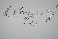 Avocets 2017-04-09_01 (Jan Thomas Landgren) Tags: aves animal animals avifauna djur birds bird nature natur wildlife wetland wetlands sony sweden sverige sonyilca77m2 sonya77mark2 sonya77ii tamron tamron150600mm outdoor fåglar fågel fauna getterön getterönnaturereserve halland avocet skärfläcka recurvirostraavosetta flight