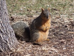 Colorado Squirrel (ALLEXTREMESPORTS.COM) Tags: colorado squirell squirel squirrel squirrels