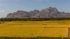 Nejjižnější Indie (zcesty) Tags: pole krajina indie16 hory tamilnadu indie dosvěta theroor india in