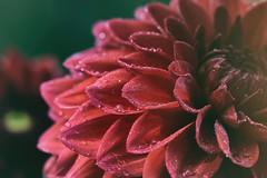 Dahlia (phagileo) Tags: macro flower dahlia red sigma105mmf28 nikond3300 nikanalogefexpro droplets waterdrops water drops wassertropfen bokeh
