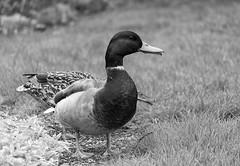 Ducks (Jackx001) Tags: 2017 april backyard canada duck gaia garden naturalworld nature ontario spring toronto green visitores wildlife