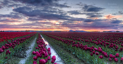Sunset over the tulips. (Brendinni) Tags: sunset tulips skagitvalley skagit clouds purples reds green water reflection orange blue glow sunsetglow landscape fields farmlife hdr photomatixpro lightroom canonusa canon7d