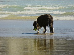 Border Collie:  Playing Ball with the Ocean (Ginger H Robinson) Tags: bordercollie playingball pacificocean waves tide shortsands beach manzanita oregon northwestcoast oswaldstatepark dog water ball play