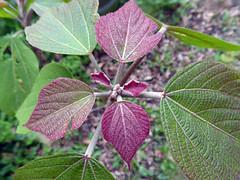 Mallotus japonicus (L.f.) Müll.Arg. 1865 (EUPHORBIACEAE) (helicongus) Tags: mallotusjaponicus mallotus euphorbiaceae jardínbotánicodeiturraran spain