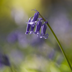 Reine des sous-bois **---+ (Titole) Tags: jacinthedesbois bluebell bokeh titole nicolefaton squareformat 15challengeswinner thechallengefactory