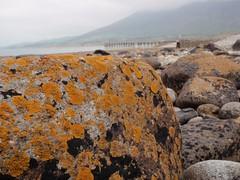 Cen arforol. Maritime lichens (Gwylan) Tags: lichen cen trefor
