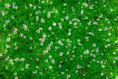 happy easter! (Sandra Bartocha) Tags: sandrabartocha anemonenemorosa anemone woodanemone layers secretsoftheforestfloor spring springtime springflowers
