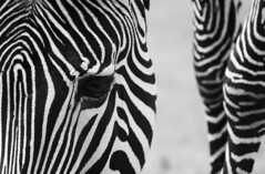 Hartmann's mountain zebra (RedPlanetClaire) Tags: animal zoo wildlife zebra equine striped stripey hartmanns mountain equus hartmannae
