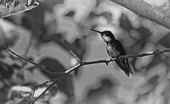 IMG_6803 Hummingbird's hiding place (B&W) (Rodolfo Frino) Tags: bnw blackandwhite noir blancetnoir