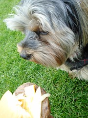 Flo Yorkie Poo Dog and Cheese Burger from Oakham Fun Fair (@oakhamuk) Tags: flo yorkiepoo dog cheeseburger from oakham funfair martinbrookes