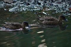 Grey Teal pair (natalia.bird_nerd) Tags: birds ducks wetlandbirds teals greyteals river park australia