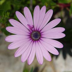 Osteospermum (bernarddelefosse) Tags: osteospermum asteraceae fleur plante