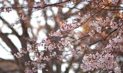 Cherry Sunset (Lala Lands) Tags: floweringcherry yoshinocherryprunusxyedoensis springfloweringtrees pinkspringflowers springsunset goldenhour inspiration bokeh shallowdof nikkor105mmf28 nikond7200