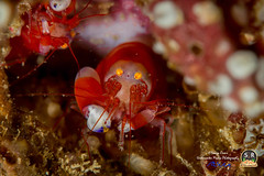 MODEST SNAPPING SHRIMP (15mm) (Sonja Ooms) Tags: divinglembehstraits indonesia lembeh lembehstrait lembehstraits modest modestsnappingshrimp modestus nad nadlembehresort northsulawesi shrimp snapping synalpheus synalpheusmodestus red