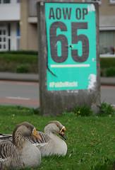 Ganzen met verkiezingsposter (Floortje Walraven) Tags: gans goose poster verkiezingsposter electionposter reclame drachten geese ganzen sp