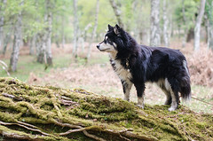 in the woods 16/52 (sure2talk) Tags: inthewoods taivas finnishlapphund pigbush newforest nikond7000 nikkor50mmf14gafs we2142017 52weeksfordogs 1652