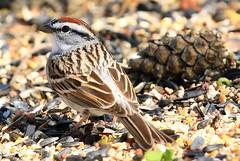 chipping sparrow at Lake Meyer Park IA 854A9715 (lreis_naturalist) Tags: chipping sparrow lake meyer park winneshiek county iowa larry reis