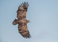 White-tailed Eagle (tickspics ) Tags: accipitridae eagles europe finland haliaeetusalbicilla kuusamo lämsänkylä suomi whitetailedeagle whitetailedfisheagle whitetailedseaeagle northernostrobothnia