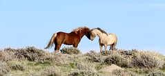 Wild affection (prairiegirrl) Tags: wildhorses wildplaces greenmountain hma wyoming