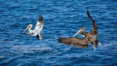 A Couple Of Drifters (vgphotoz) Tags: vgphotoz pelicans ocean pacific water newportbeach california bif wild birds blue wings usa marculescueugendreamsoflightportal