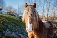 Welsh Mountain Pony (metturn) Tags: hest chestnut nugget skjæløy welshpony animalportrait pony portrait welshmountainpony horses equines horse outdoor animals østfold norway no