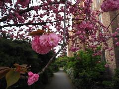 P4220151 (starimmak) Tags: cherry blossom uw johnson hall