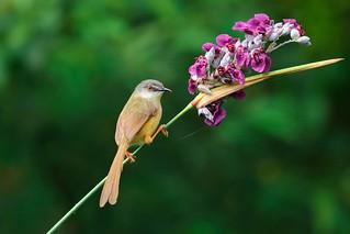 灰頭鷦鶯 Prinia flaviventris