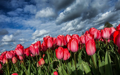 Stunning red tulips against dramatic clouds (zilverbat.) Tags: thenetherlands zilverbat bild tulips tulpen bookcover bollenstreek clouds flowers red tourist tourism tour fiets travel steel bol dutchholland holland hotspot dutch dramatic nl canon cover stock image map love tulip keukenhof lisse noordwijkerhout postcard bridebouquet bouquet symbolic