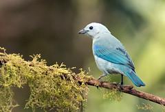 IMG_2137 Blue-gray Tanager (suebmtl) Tags: bird songbird ecuador santadeo pichinchaprovince bluegraytanager thraupisepiscopus blue neotropical 123birds