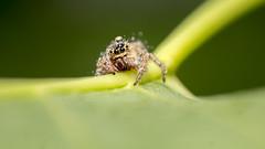 Jumping Spider (shardartarikul) Tags: nature insect macro closeup ngc bangladesh spider green