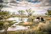 Cows in a puddle (imageseekertoo (Wendy Elliott)) Tags: bishopca bishopriverscenery california owensriver unitedstates cows cowsbystream cowsinpasture river riverscenery scenic scenicdrive travel wendyelliott wendyelliottphotography wintertrip2016to2017